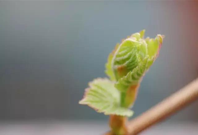 为什么葡萄萌芽不整齐