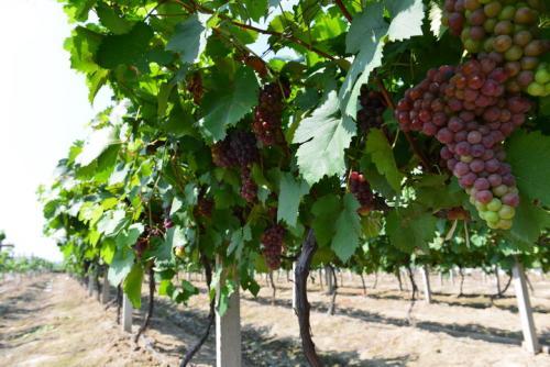 法国葡萄园准备打破草甘膦成瘾