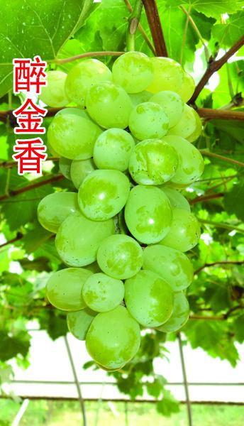 醉金香葡萄有哪些缺点