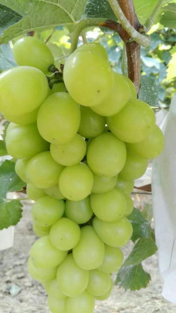 赛珍珠葡萄多少钱一斤