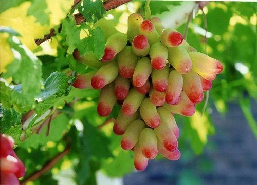 一颗葡萄富了一个村