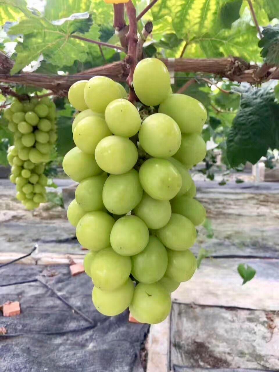 马陆葡萄周末集市在哪里?