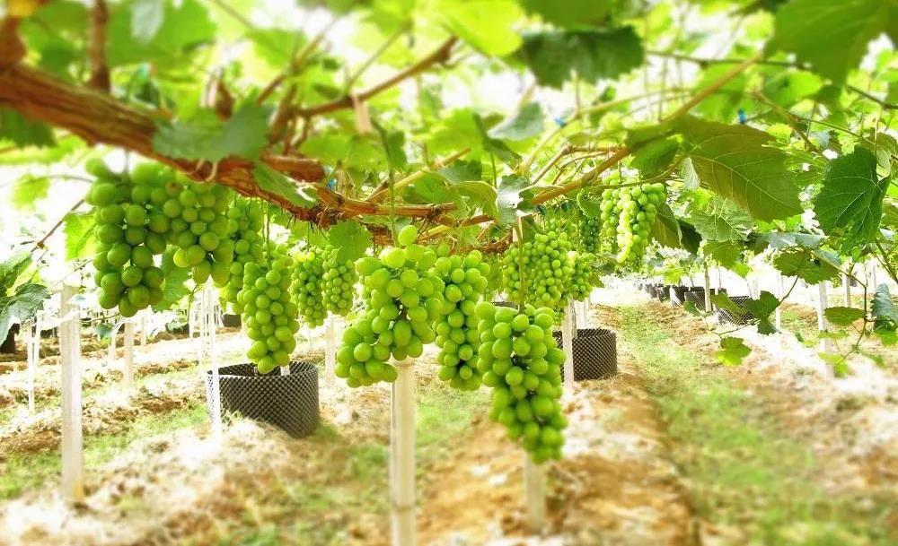 """葡萄新品种""""阳光玫瑰""""种植收益翻倍前景可观!"""