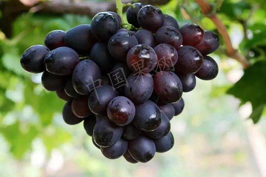 格鲁吉亚要在火星种葡萄