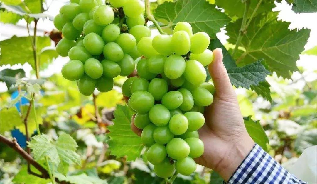 葡萄游戏采摘农家乐