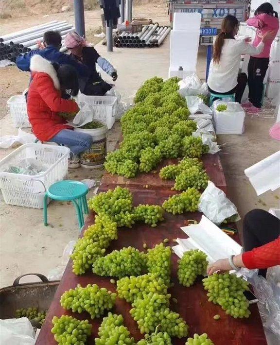 马陆有哪些比较知名的葡萄园?