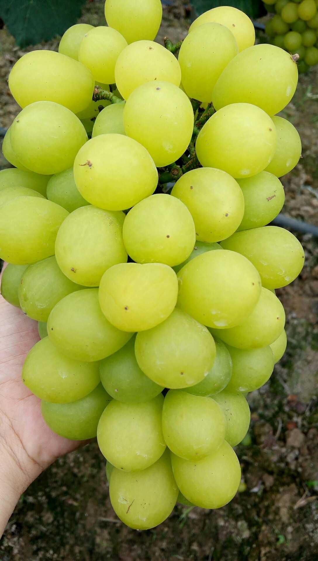 马陆奶油葡萄多少钱一斤