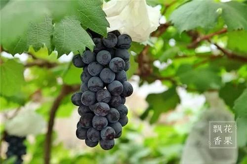 嘉定哪里可以摘葡萄