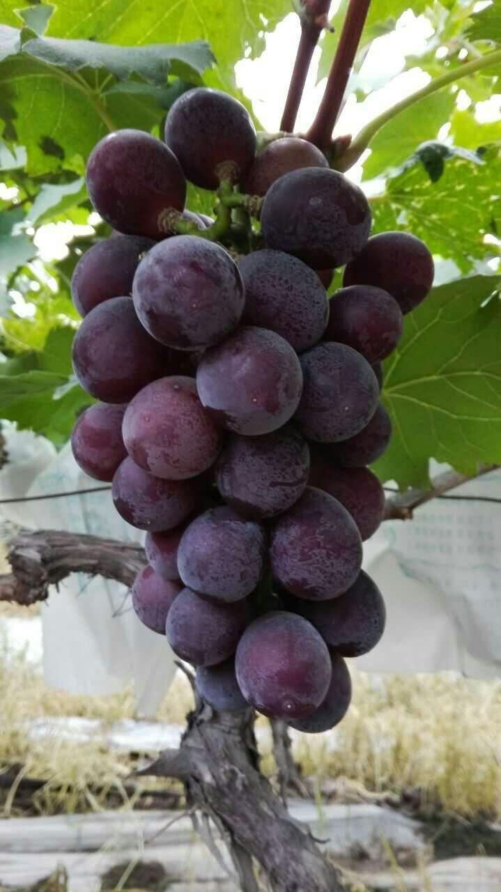 夏黑葡萄和巨峰葡萄哪个好吃?