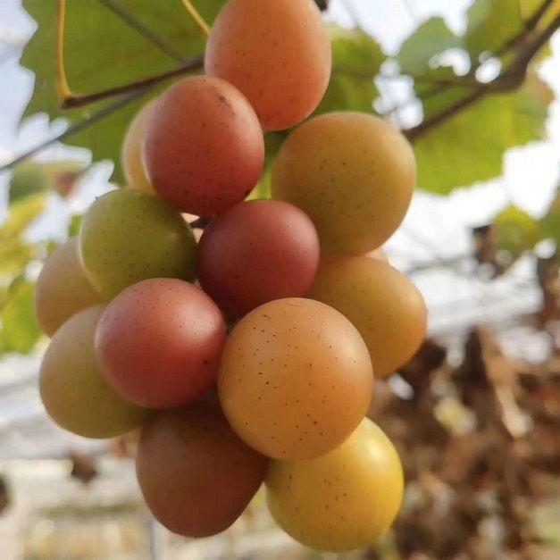 马陆葡萄怎么卖?