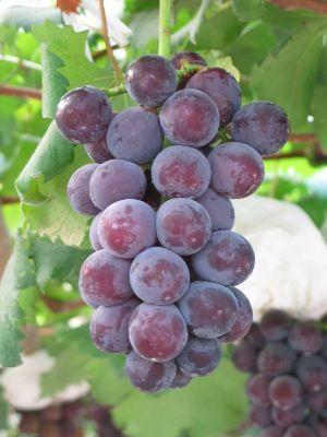 上海葡萄什么时间熟