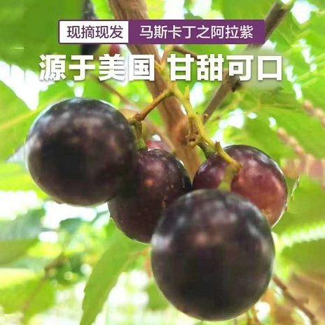 哪里能买到圆叶品种葡萄苗啊