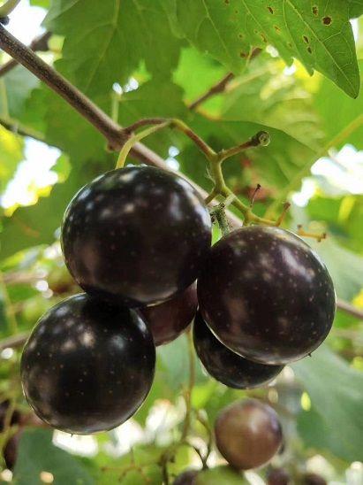 上海交通大学教授引育圆叶葡萄新品种