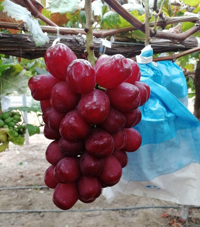 马陆葡萄的品种有哪些