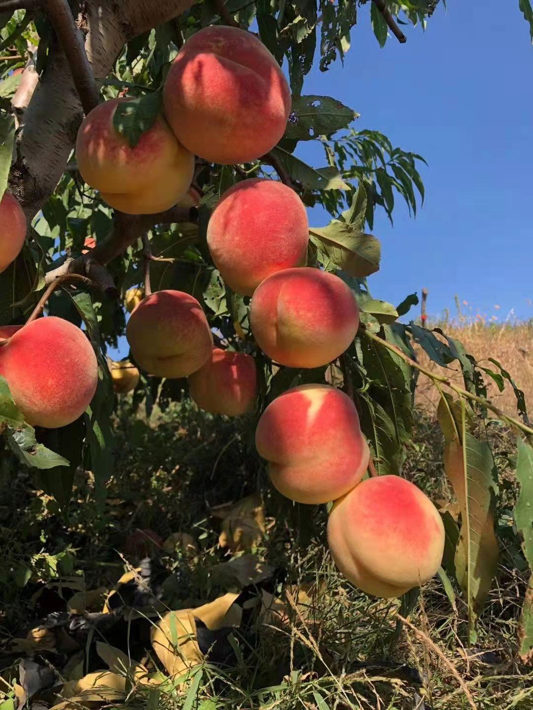 甜度创下世界吉尼斯纪录的桃子金秋红蜜什么时候上市