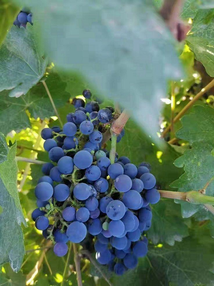 夏黑葡萄品种介绍